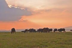 Búfalos que vêm em casa na noite Imagem de Stock