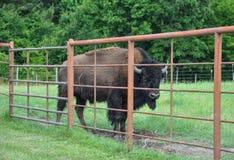 Búfalos que vagueiam em um campo Foto de Stock Royalty Free