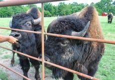 Búfalos que vagueiam em um campo Fotografia de Stock