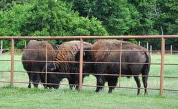 Búfalos que vagueiam em um campo Imagem de Stock Royalty Free