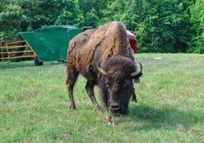 Búfalos que vagueiam em um campo Fotografia de Stock Royalty Free