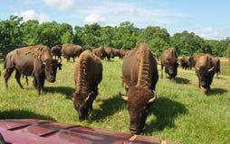 Búfalos que vagueiam em um campo Fotos de Stock