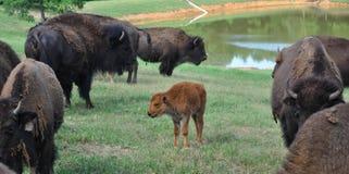 Búfalos que vagueiam em um campo Imagens de Stock Royalty Free