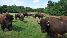 Búfalos que vagueiam em um campo Imagens de Stock