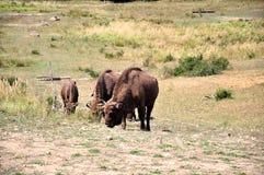 Búfalos rumanos Fotos de archivo libres de regalías