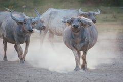 Búfalos tailandeses Fotografía de archivo libre de regalías