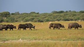 Búfalos y antílopes africanos de la gacela almacen de video