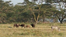 Búfalos y cebras africanos de los llanos almacen de video