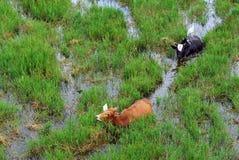 Búfalos y egrets en el campo de arroz Fotos de archivo libres de regalías