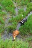 Búfalos y egrets en el campo de arroz Fotografía de archivo