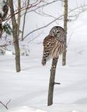Búho barrado en árbol en invierno Fotos de archivo