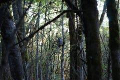 Búho barrado en bosque Foto de archivo