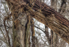 Búho barrado en jerarquía en el bosque del invierno Foto de archivo libre de regalías