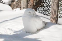 Búho blanco como la nieve sonriente lindo que se sienta debajo de sombra en un día soleado en invierno frío fotografía de archivo