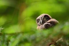Búho boreal del pequeño pájaro, funereus de Aegolius, sentándose en la rama de árbol en fondo verde del bosque, jóvenes, bebé, ca Fotos de archivo libres de regalías