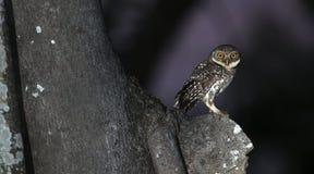 Búho, brama manchado del Athene del mochuelo en el árbol, pájaro de foto de archivo
