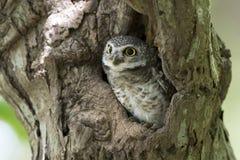Búho, brama manchado del Athene del mochuelo en hueco del árbol foto de archivo