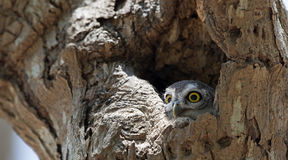 Búho, brama manchado del Athene del mochuelo en hueco del árbol fotografía de archivo libre de regalías