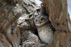 Búho, brama manchado del Athene del mochuelo en hueco del árbol foto de archivo libre de regalías