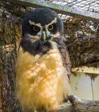 Búho con gafas negro en el ave rapaz del primer, tropical y nocturna de América imagen de archivo