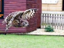 Búho de águila africano manchado en vuelo Imagenes de archivo