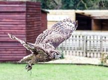 Búho de águila africano manchado en vuelo Foto de archivo