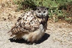 Búho de águila eurasiático en el Camargue, Francia Imágenes de archivo libres de regalías