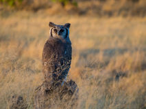 Búho de águila gigante en la luz de la tarde, Moremi NP, Botswana imagen de archivo libre de regalías