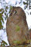 Búho de águila gigante, (lacteus del bubón) Imagen de archivo libre de regalías