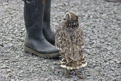 Búho de águila juvenil que busca la comida Foto de archivo