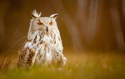 Búho de águila siberiano Imagen de archivo libre de regalías