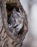 Búho de chillido en agujero en árbol Fotos de archivo libres de regalías