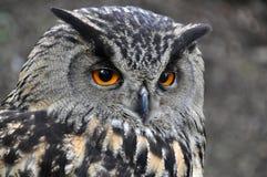 Búho de Eagle Fotografía de archivo