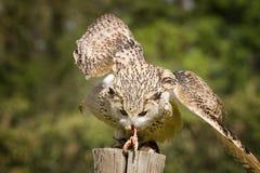 Búho de Eagle con la presa Fotos de archivo libres de regalías