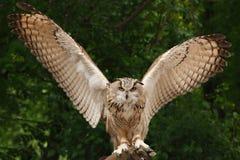 Búho de Eagle del eurasiático Foto de archivo libre de regalías
