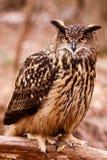 Eurasiático Eagle Owl - mirada intensa imagenes de archivo