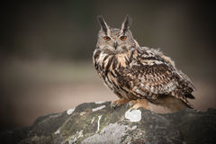 Búho de Eagle del europeo Fotografía de archivo