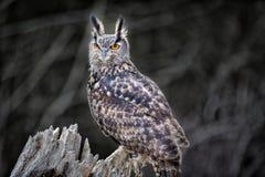 Búho de Eagle euro hermoso del asiático Fotos de archivo