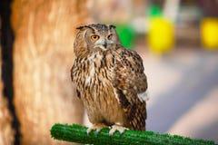 Búho de Eagle Fotos de archivo libres de regalías