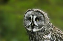 Gran Grey Owl Fotos de archivo libres de regalías