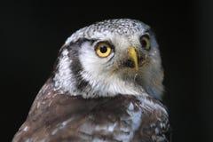 Búho de halcón Fotos de archivo libres de regalías