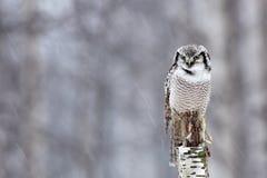 Búho de halcón, bosque nevoso, fauna del invierno en Finlandia pájaro en el hábitat de la naturaleza Búho que se sienta en tronco Fotos de archivo