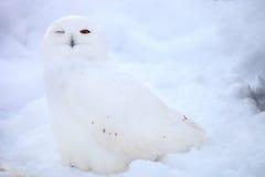 Búho de la nieve Imágenes de archivo libres de regalías