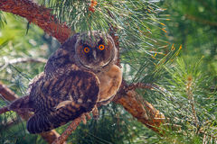 Búho de orejas alargadas que se sienta en una rama del pino Fotografía de archivo libre de regalías