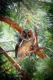 Búho de orejas alargadas que se sienta en una rama del pino Imagen de archivo