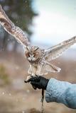 Búho de orejas alargadas rendido en el campo para volar y para cazar adentro tam Fotos de archivo libres de regalías