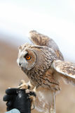 Búho de orejas alargadas rendido en el campo para volar y para cazar adentro tam Fotografía de archivo libre de regalías