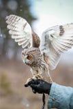 Búho de orejas alargadas rendido en el campo para volar y para cazar adentro tam Imagen de archivo libre de regalías