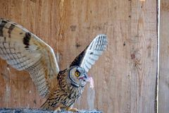Búho del otus del Asio en el fondo de madera imagen de archivo libre de regalías
