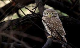 Búho: Depredador y presa Imagenes de archivo